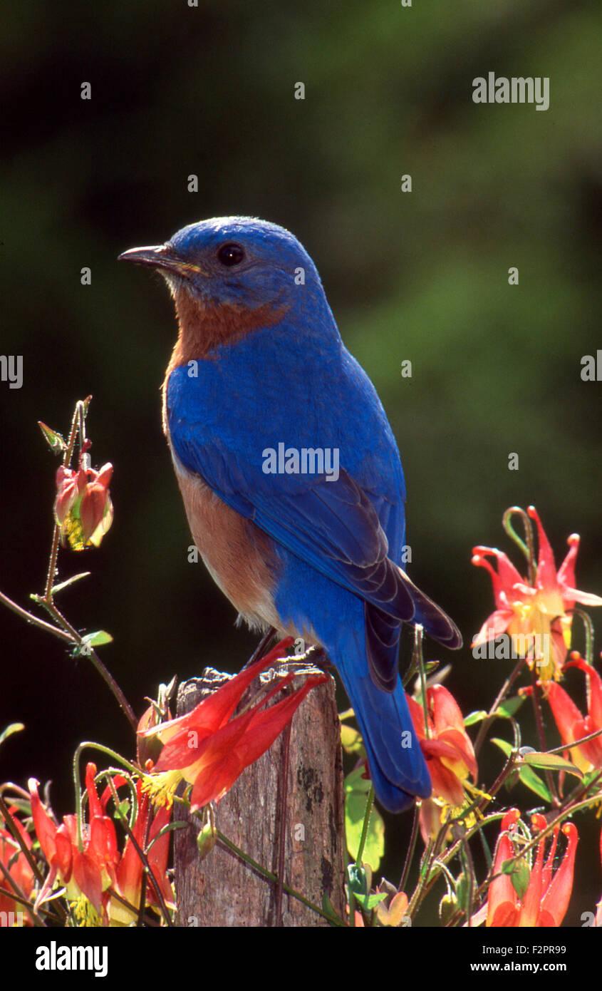 Male Bluebird, Sialia sialias, perched on fencepost among Columbine flowers, Missouri USA - Stock Image