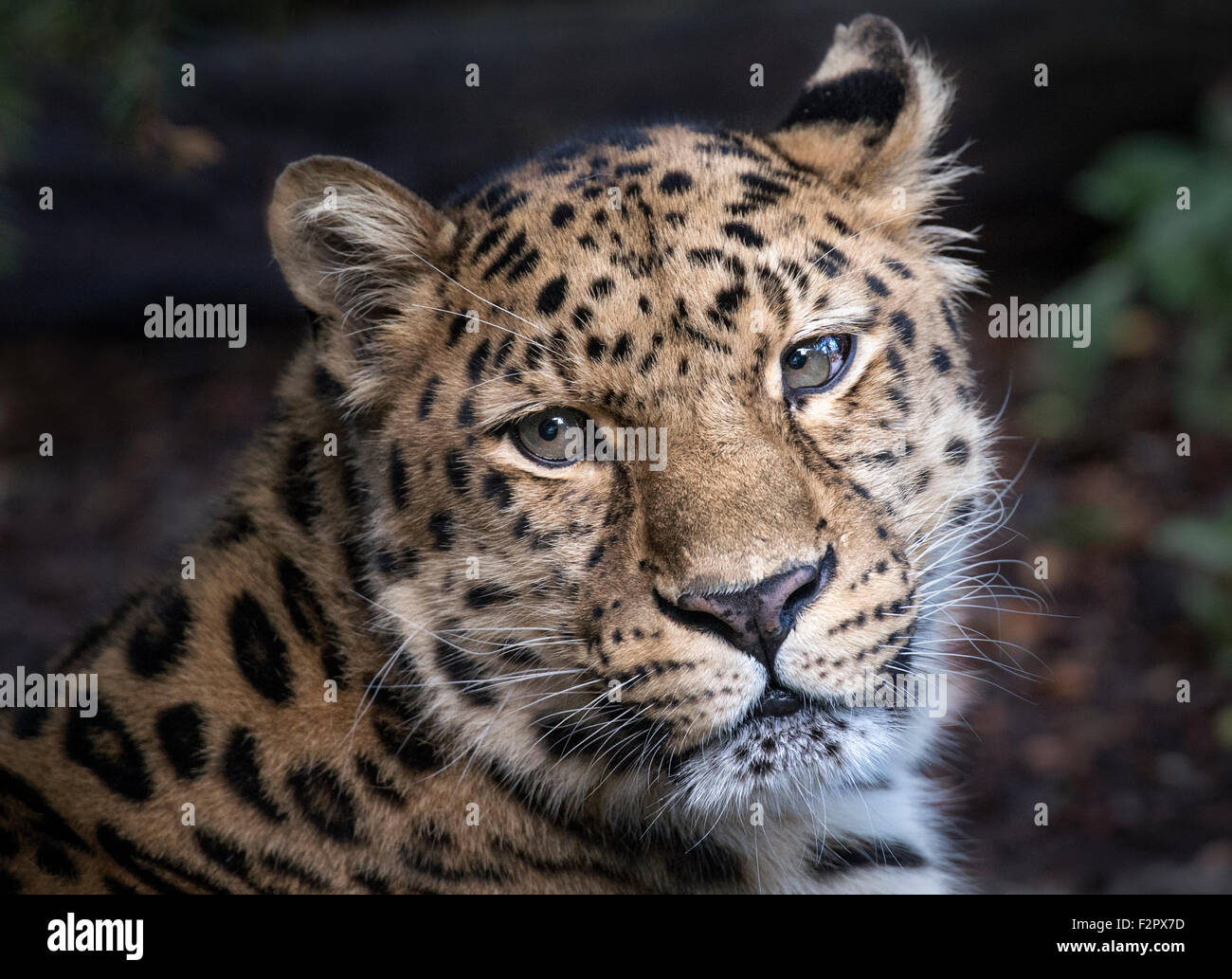 Male Amur leopard gazing towards camera (face shot) - Stock Image