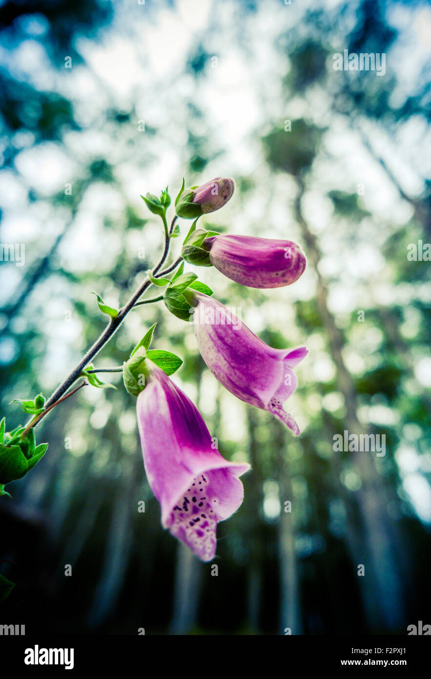 Beautiful Pink Foxglove Flowers In A Forest Setting - Stock Image
