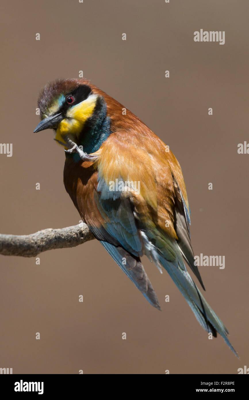 European Bee-eater preening Stock Photo