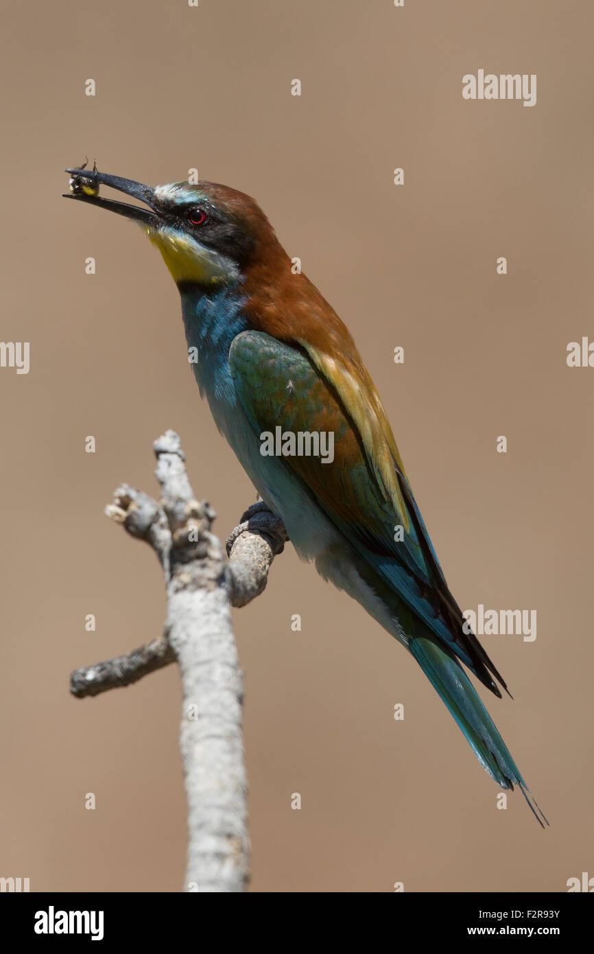 European Bee-eater with prey Stock Photo