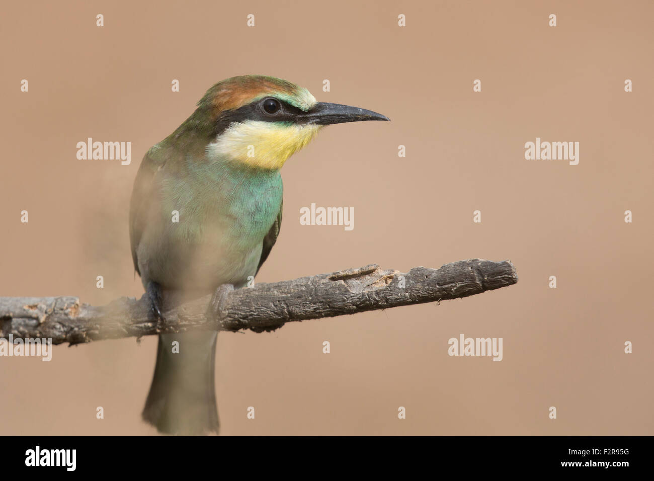 European Bee-eater fledgling in Andalucia Stock Photo