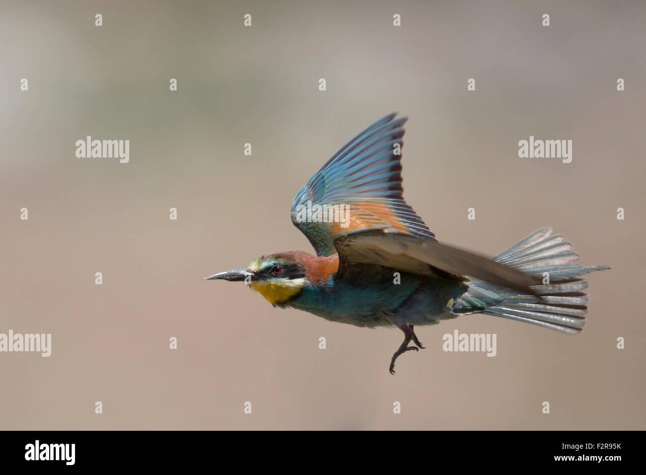 European Bee-eater in flight Stock Photo
