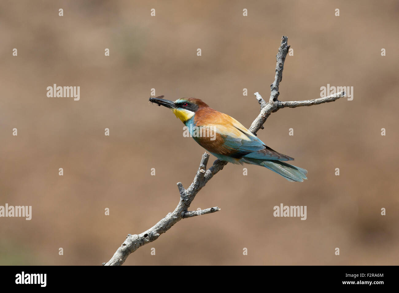 European Bee-eater with insect prey Stock Photo