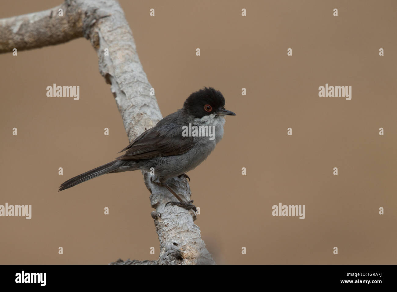 Sardinian Warbler in Andalucia Stock Photo