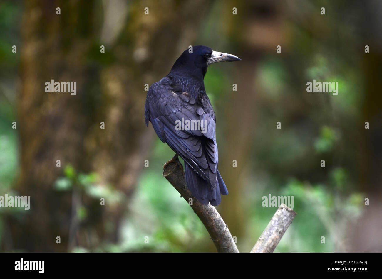 A rook on a twig UK - Stock Image