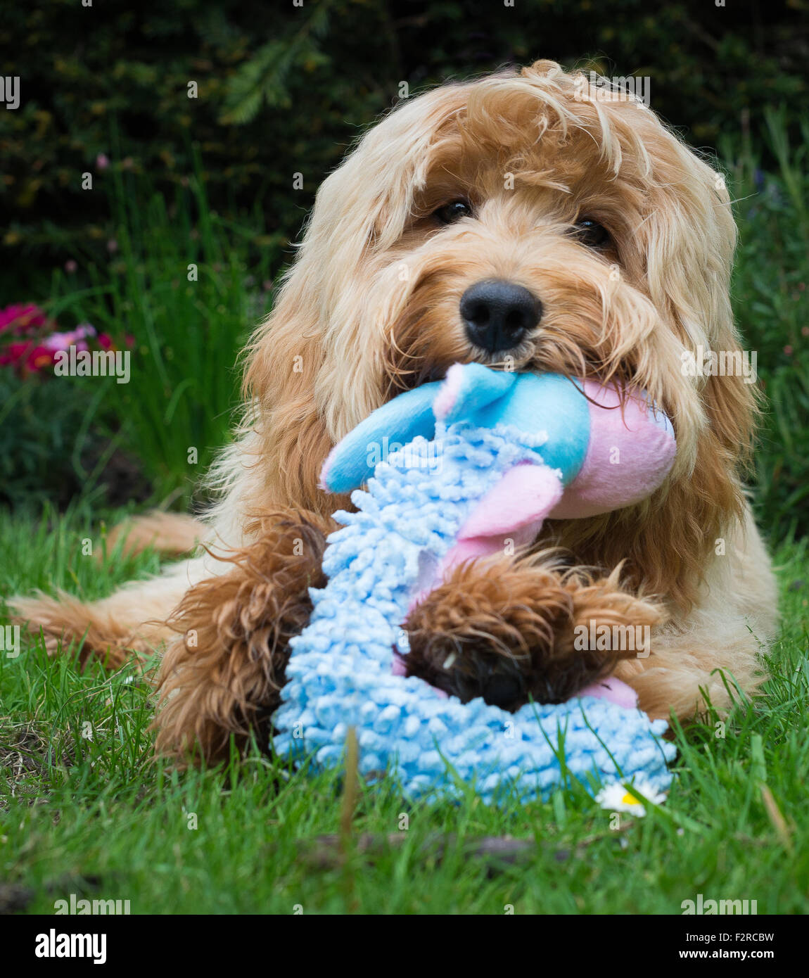 Cute dog chewing a toy - Stock Image