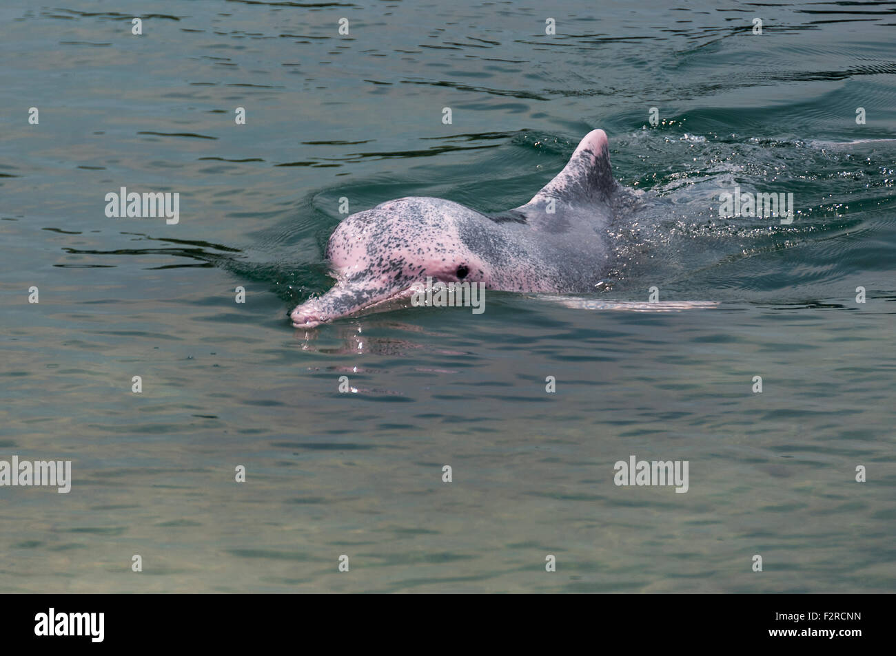 very rare pink dolphin in Singapore protection area - Stock Image