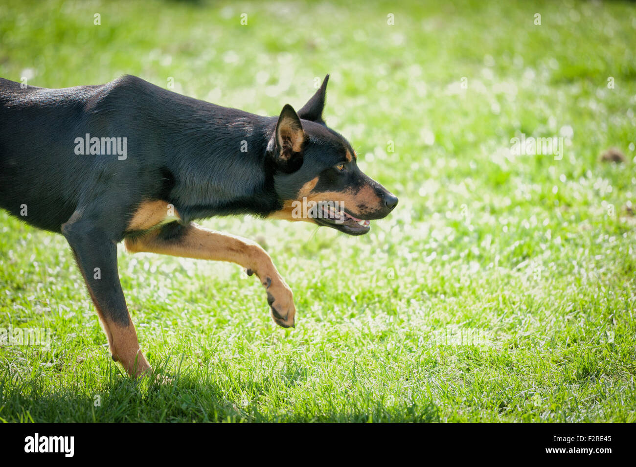 A kelpie sheep dog poised and alert - Stock Image