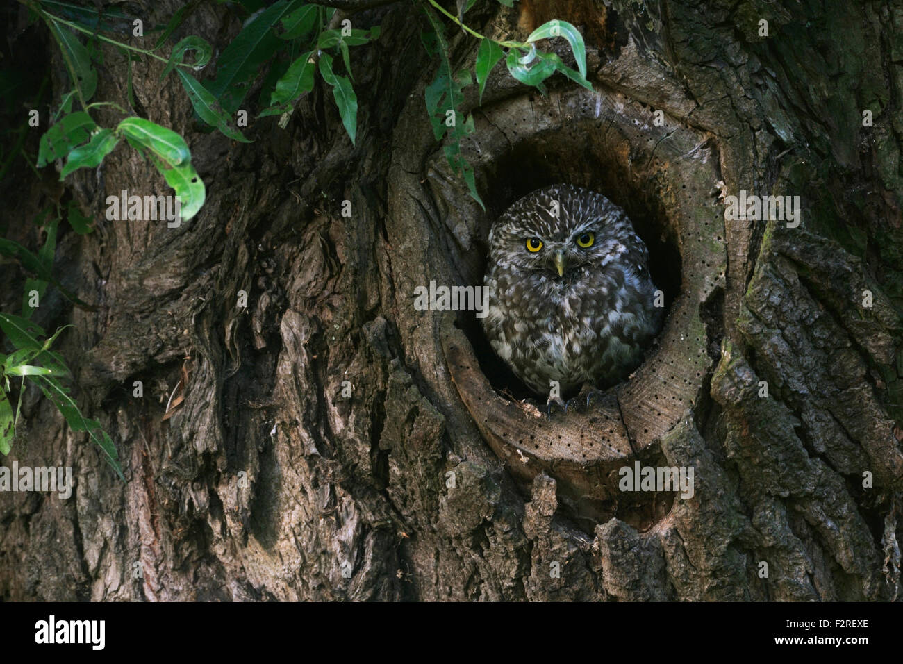 Minervas Owl / Little Owl / Steinkauz ( Athene noctua ) stands in, looking out of its natural tree hollow. Stock Photo