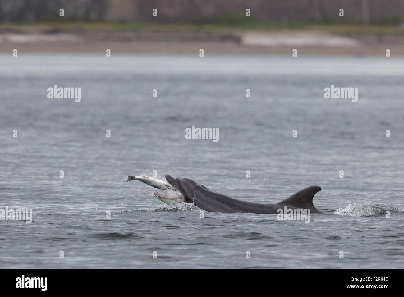 Bottlenose Dolphin hunting in the Moray Firth Stock Photo