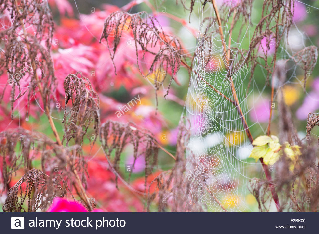 Mist covered Spiders webs in an english garden in autumn - Stock Image