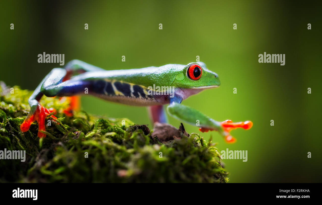 red eyed tree frog a tropical treefrog from the rain forest of Costa Rica Panama and Nicaragua. A beautiful exotic - Stock Image