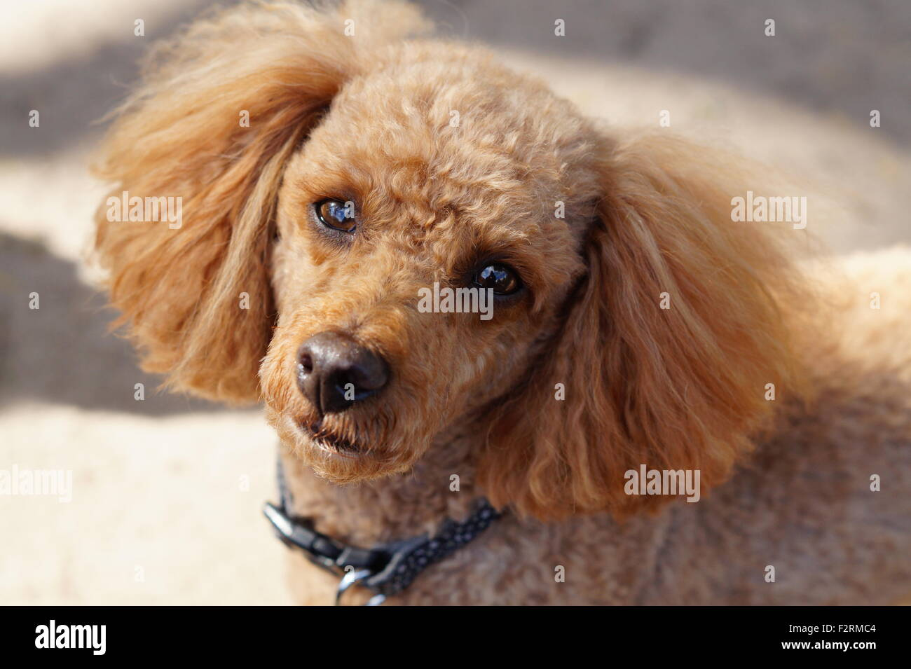 Close up of Red Toy Poodle looking at the Camera with Puppy Eyes - Stock Image