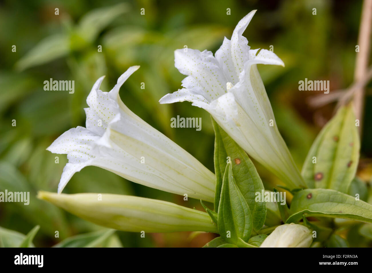 White, early autumn flowers of the perennial willow gentian, Gentiana asclepiadea 'Alba' - Stock Image