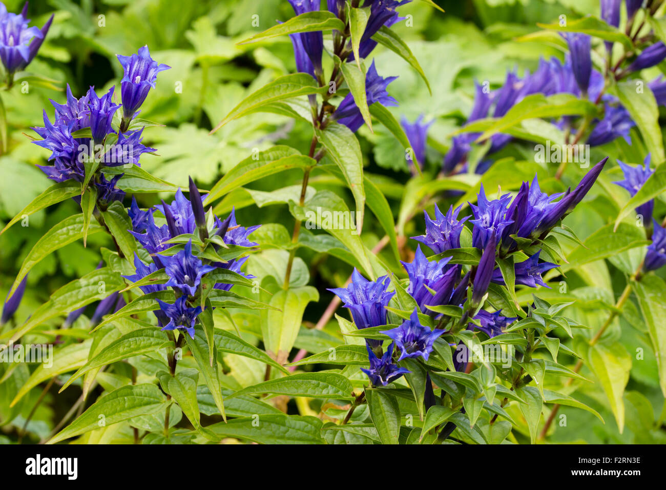 Blue, early autumn flowers of the perennial willow gentian, Gentiana asclepiadea - Stock Image