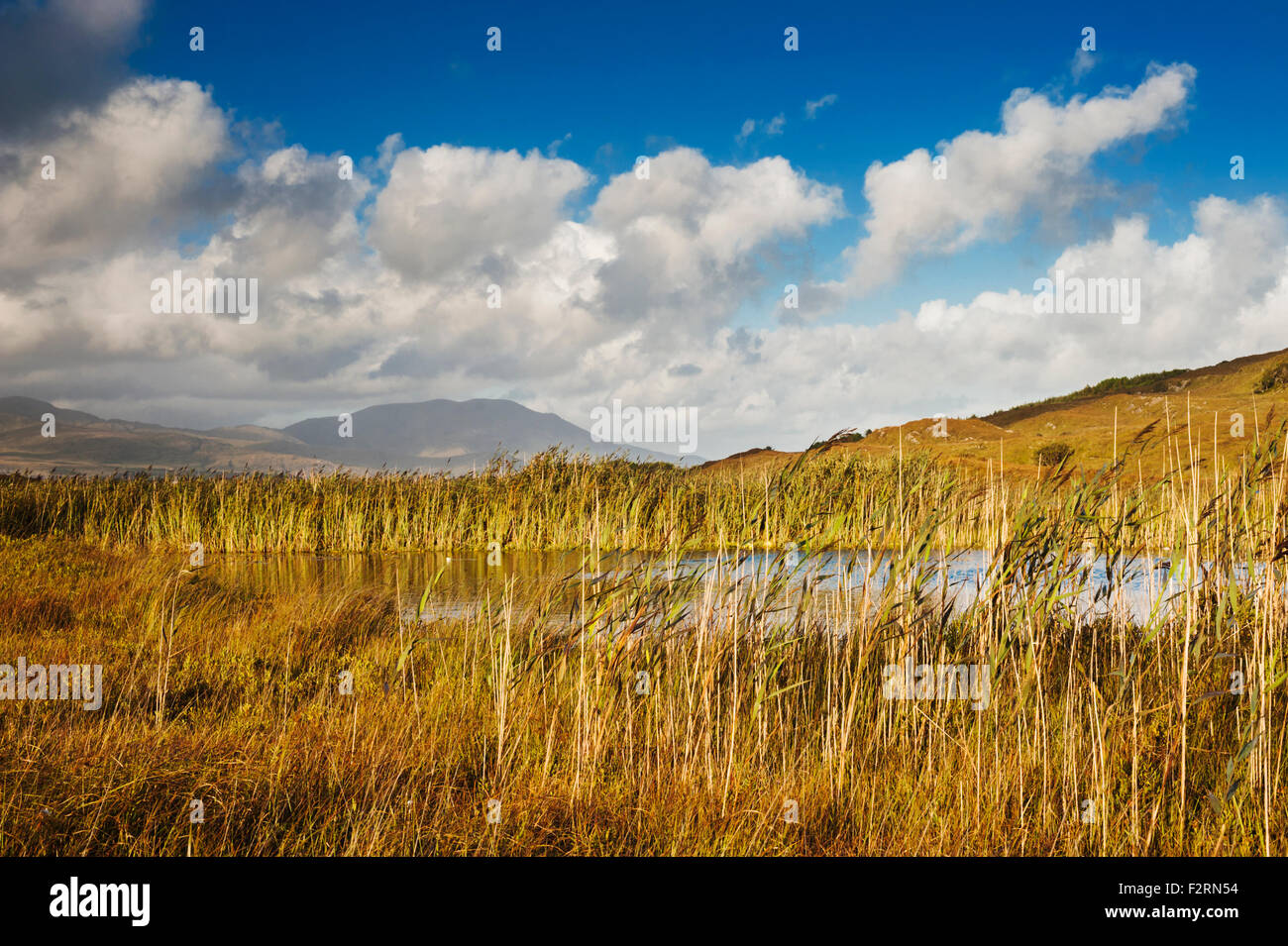 View eastwards over reeds from Cahergarriff towards Hungry Hill, Beara Penisula, County Cork, Ireland - Stock Image