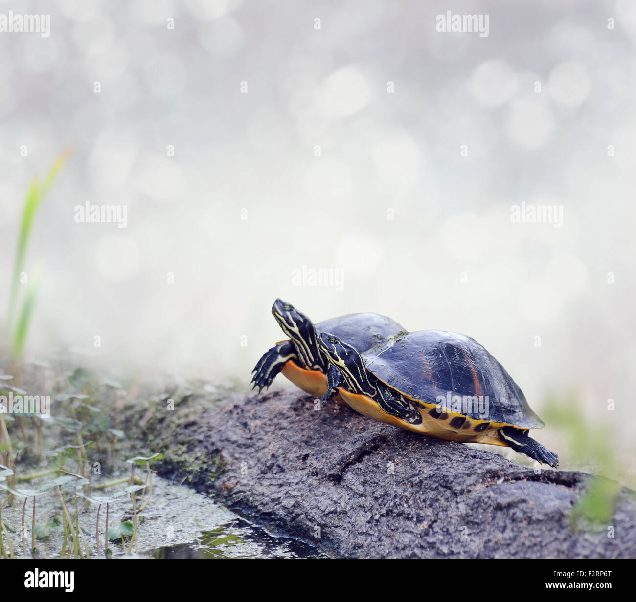 Florida Cooter Turtles On A Log Stock Photo