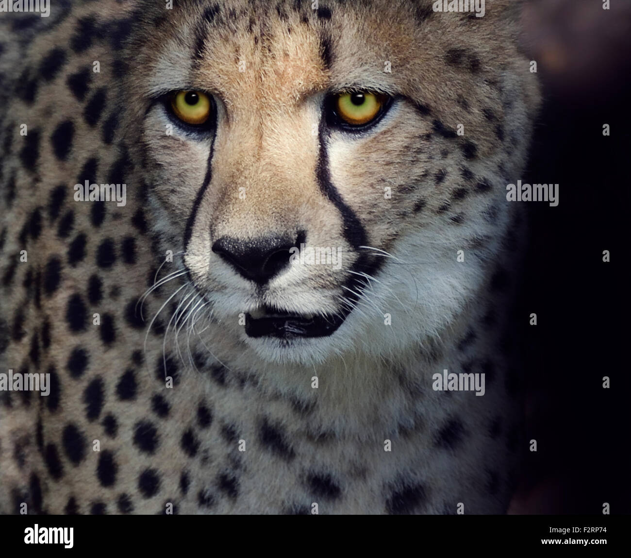 Portrait of Cheetah ,Closeup Shot - Stock Image