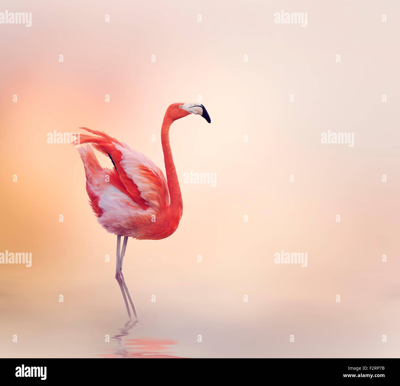 Pink Flamingo Walking at Sunset - Stock Image