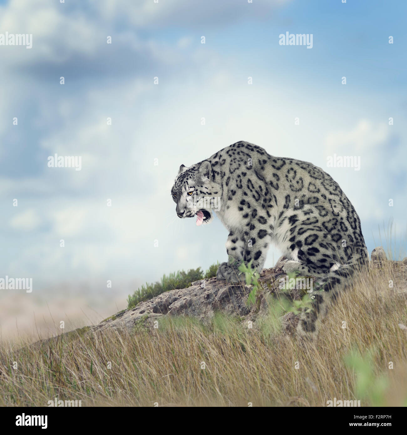 Snow Leopard Sitting on the Rock - Stock Image