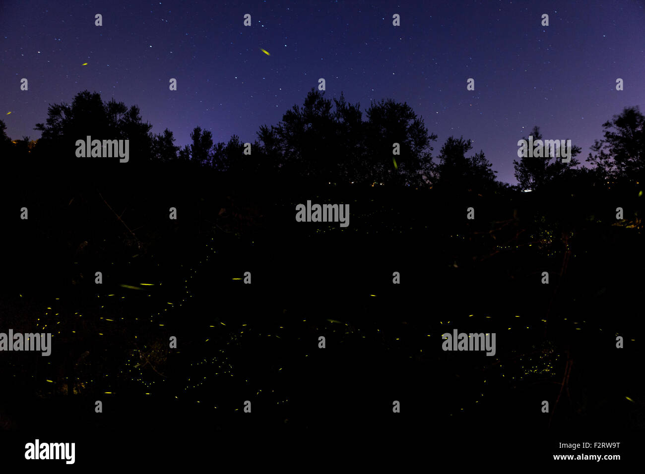 Swarm of fireflies flying at night - Stock Image
