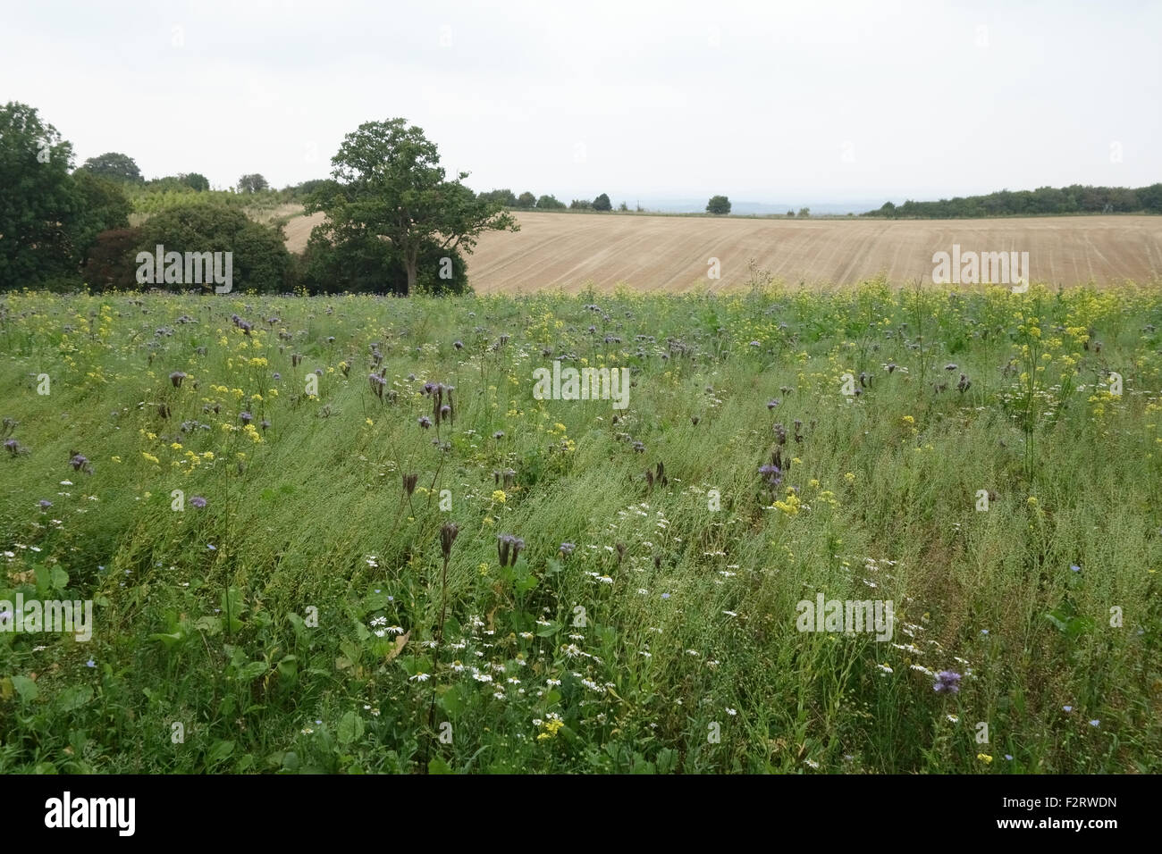 Wildflower area with flowering plants to attract insects and wildlife alongside farm crops,  Berkshire, September - Stock Image