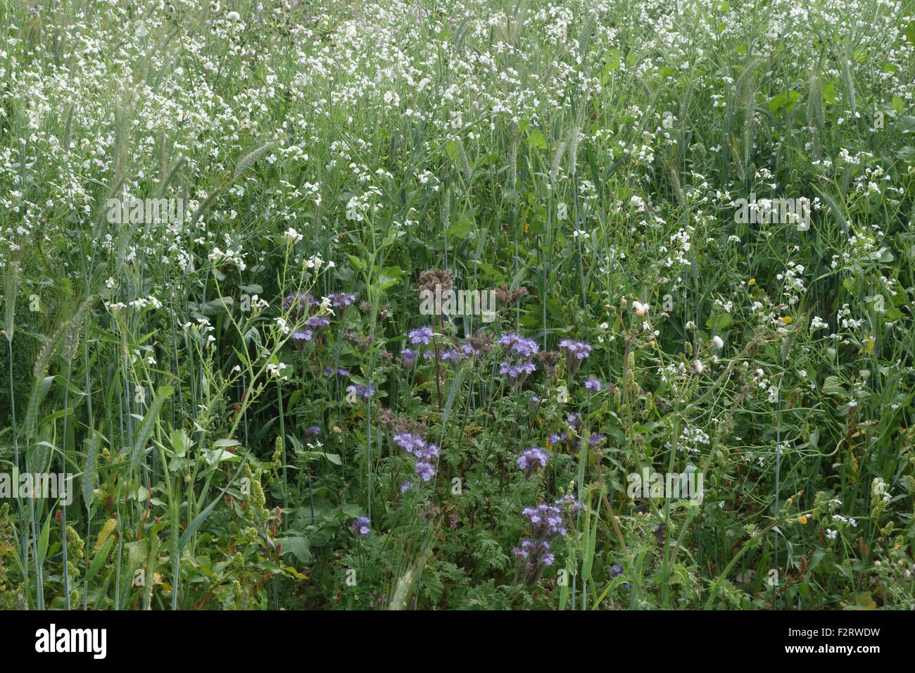 Wildflower margin with flowering plants to attract insects and wildlife alongside farm crops,  Berkshire, September - Stock Image