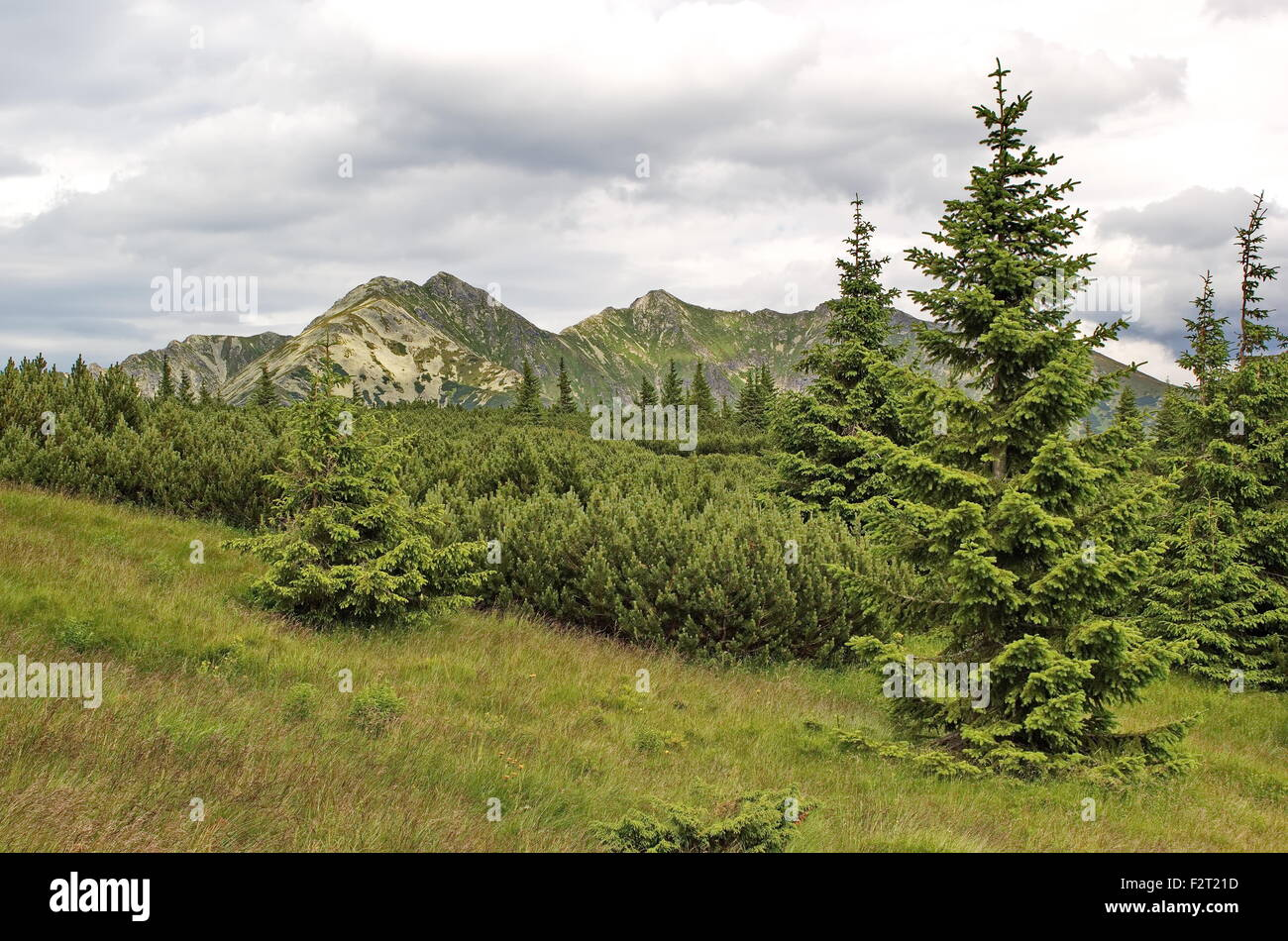 many tints of green - knee timber, spruces  and Tatras mountains, Slovakia - Stock Image