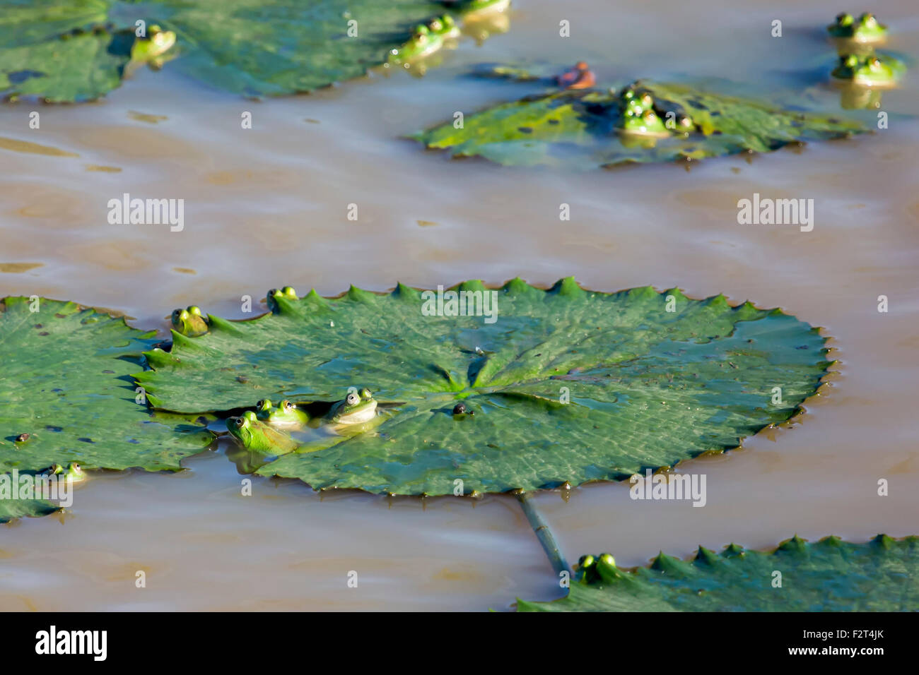Green frogs hiding in lily pads - Stock Image