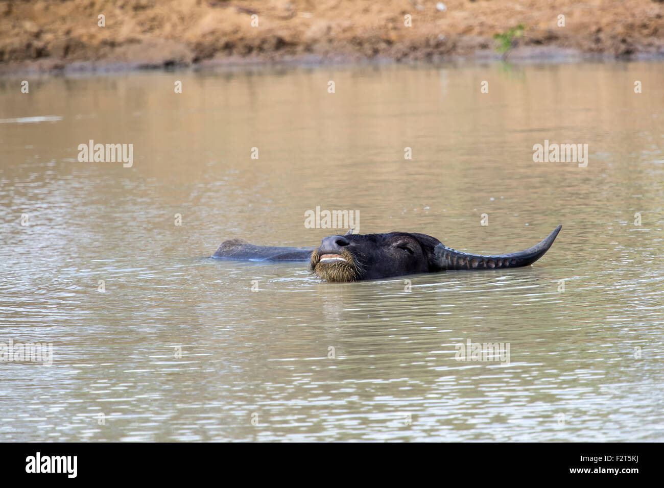 Wallowing water buffalo in a waterhole - Stock Image