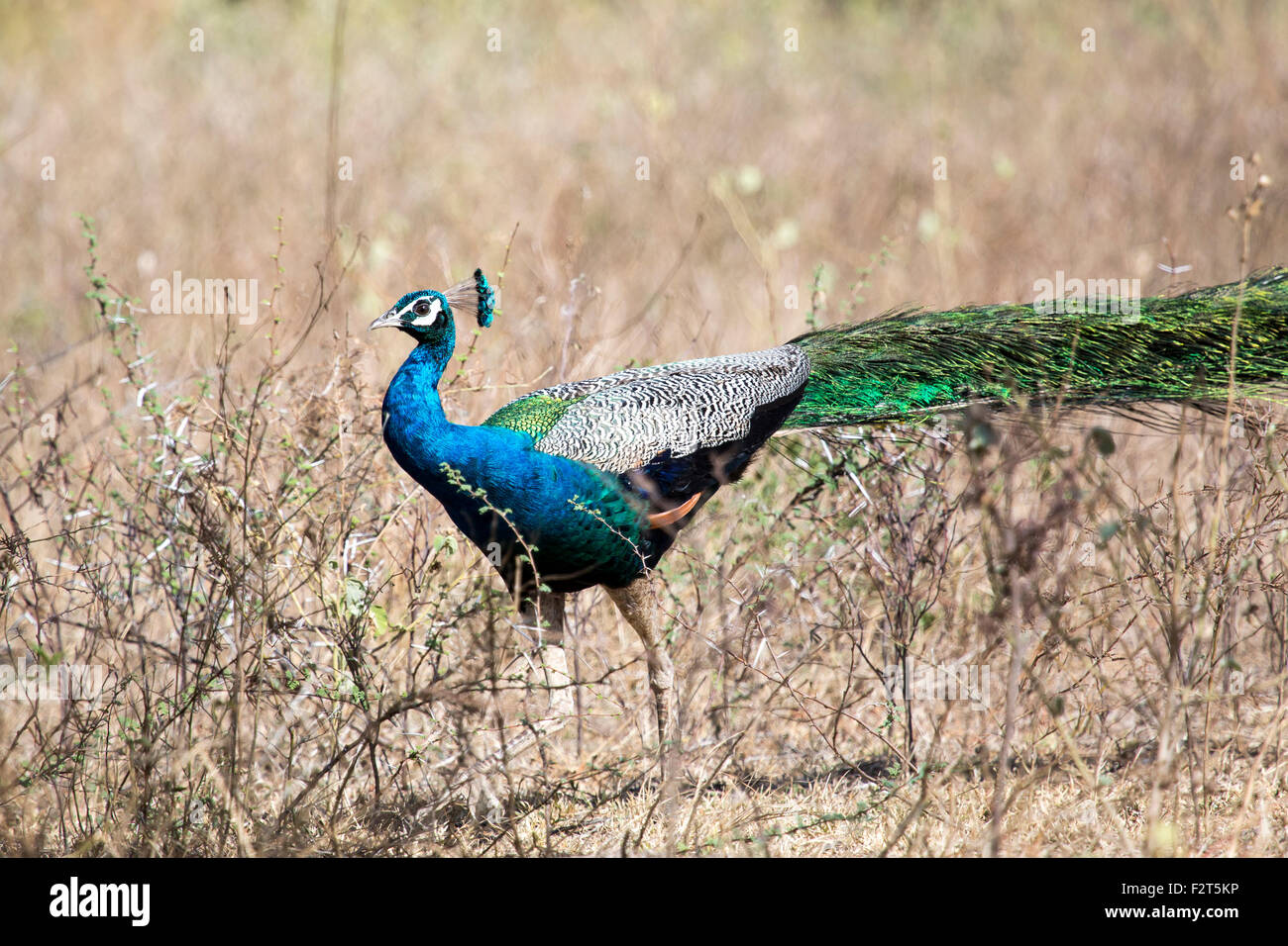 Indian peafowl or blue peafowl (Pavo cristatus) - Stock Image