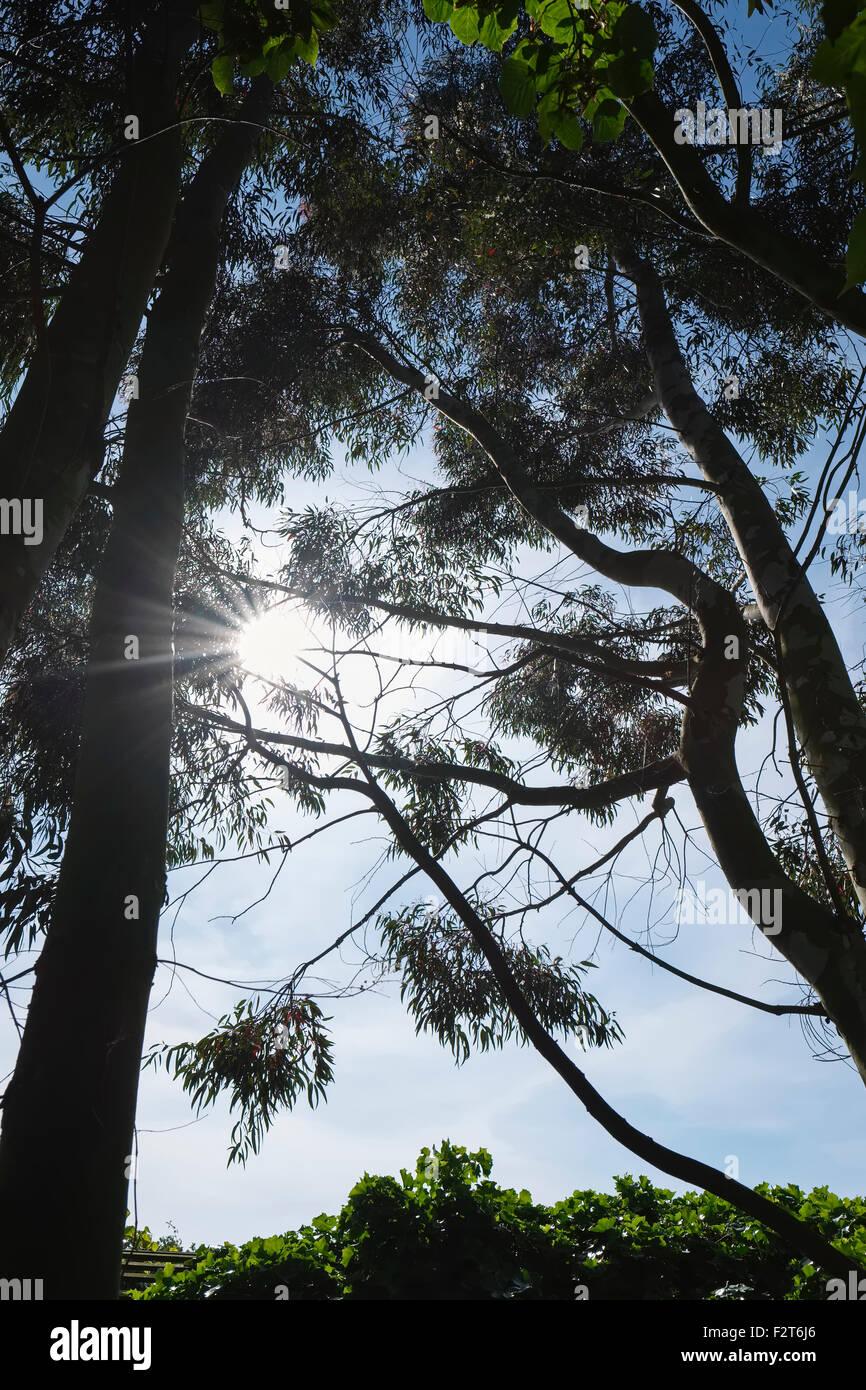 Sun Behind Eucalyptus Trees - Stock Image