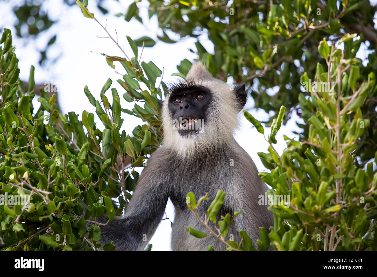 Gray langur in a tree. - Stock Image