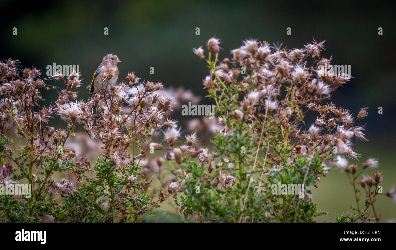 Two goldfinches (Carduelis carduelis) enjoying the thistle seed heads with their surprisingly good camouflage, UK - Stock Image