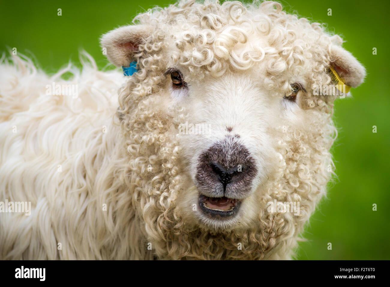 The pretty and rare breed, Greyface Dartmoor sheep (ewe), UK - Stock Image