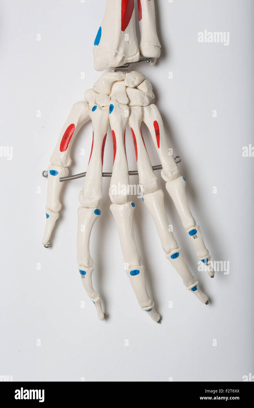 Bones Of Arm Stock Photos Bones Of Arm Stock Images Alamy