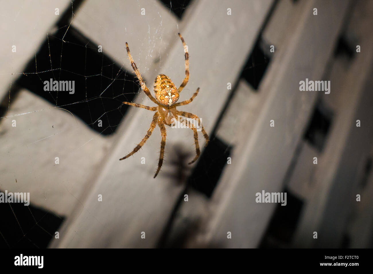 spider on web over wooden lattice - Stock Image