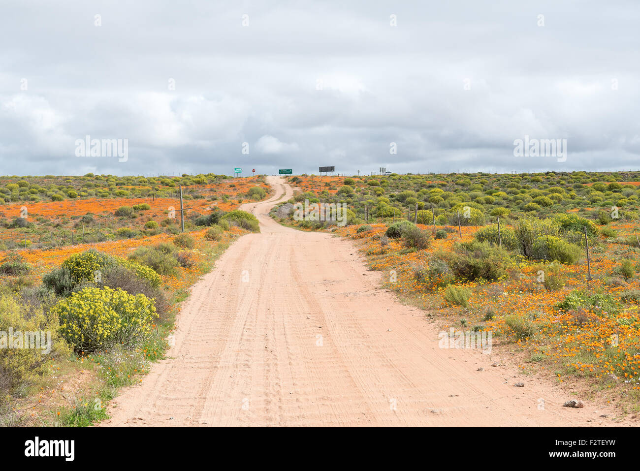 Patches of orange wild flowers as far as the eye can see. Namaqualand, South Africa Stock Photo