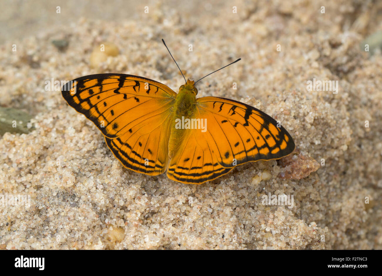 Bộ sưu tập cánh vẩy 5 - Page 5 Leopard-butterfly-phalanta-madagascariensis-in-a-gorge-isalo-national-F2TNC3
