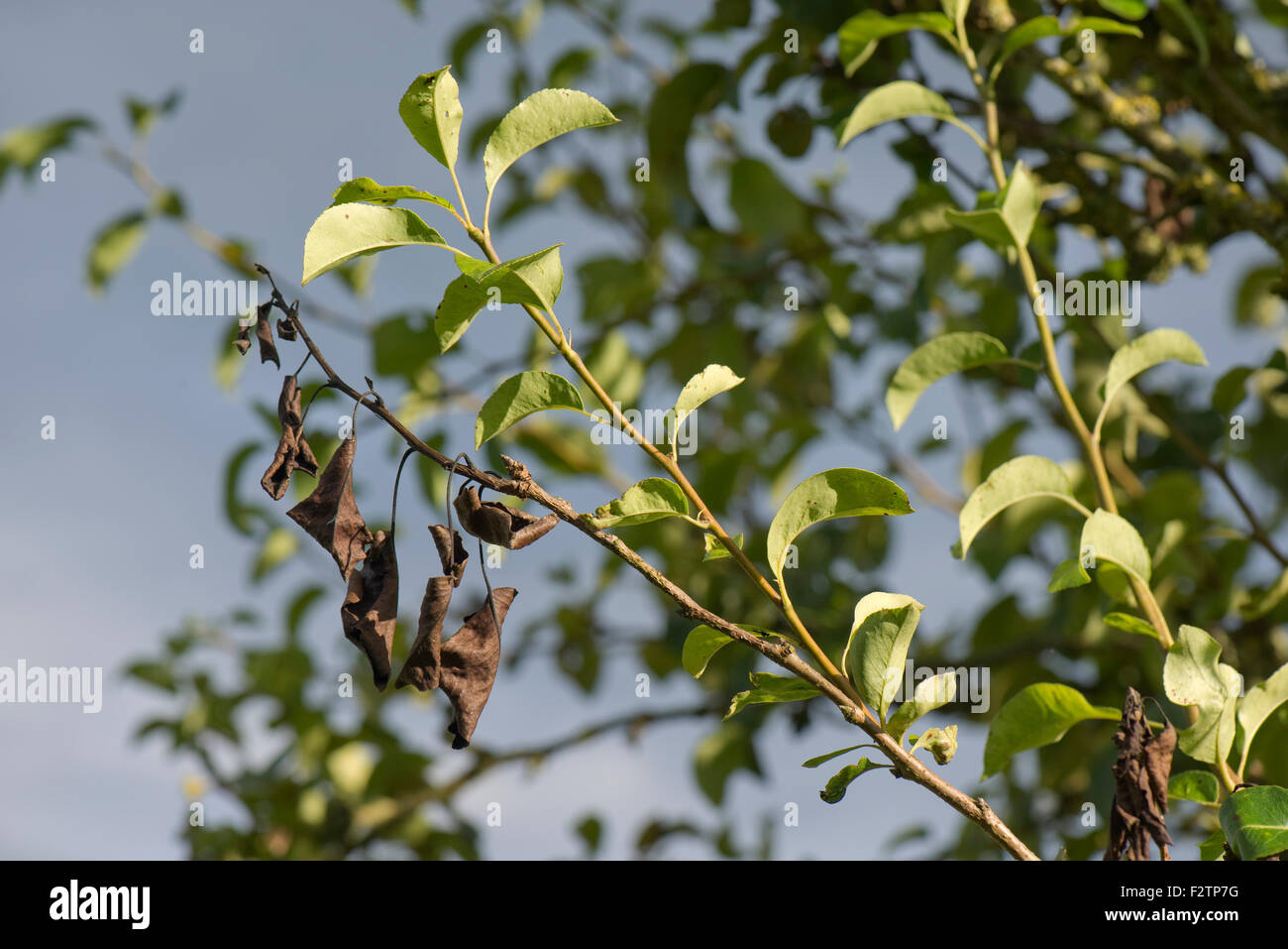 Branch dieback on a pear caused by a canker, Neonectria ditissima, at the base of the damage, Berkshire, September - Stock Image