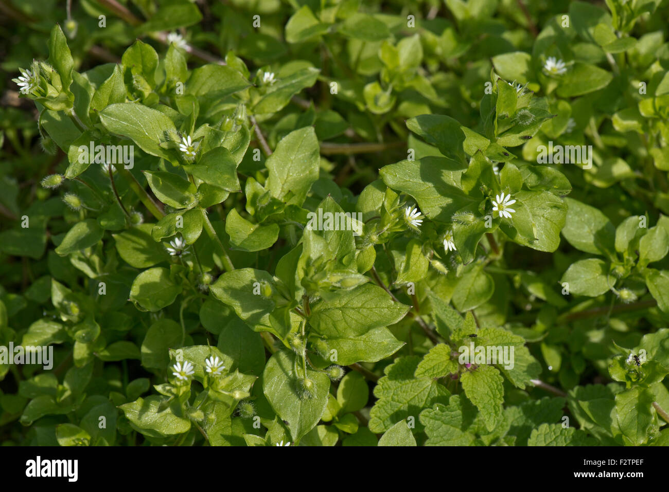 Chickweed Stellaria Media Small White Flowers And Green Leaves Of
