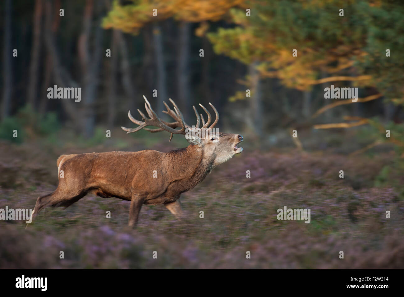 Panning image of a roaring Stag / Red deer / Rothirsch ( Cervus elaphus ) running through violett blossoming heather. - Stock Image