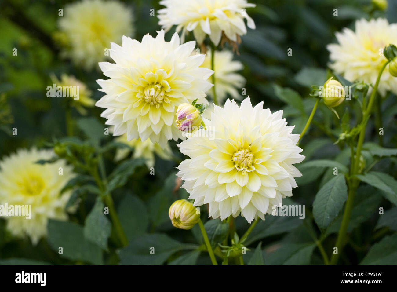 Pale yellow dahlia stock photos pale yellow dahlia stock images pale yellow dahlia flowers stock image izmirmasajfo