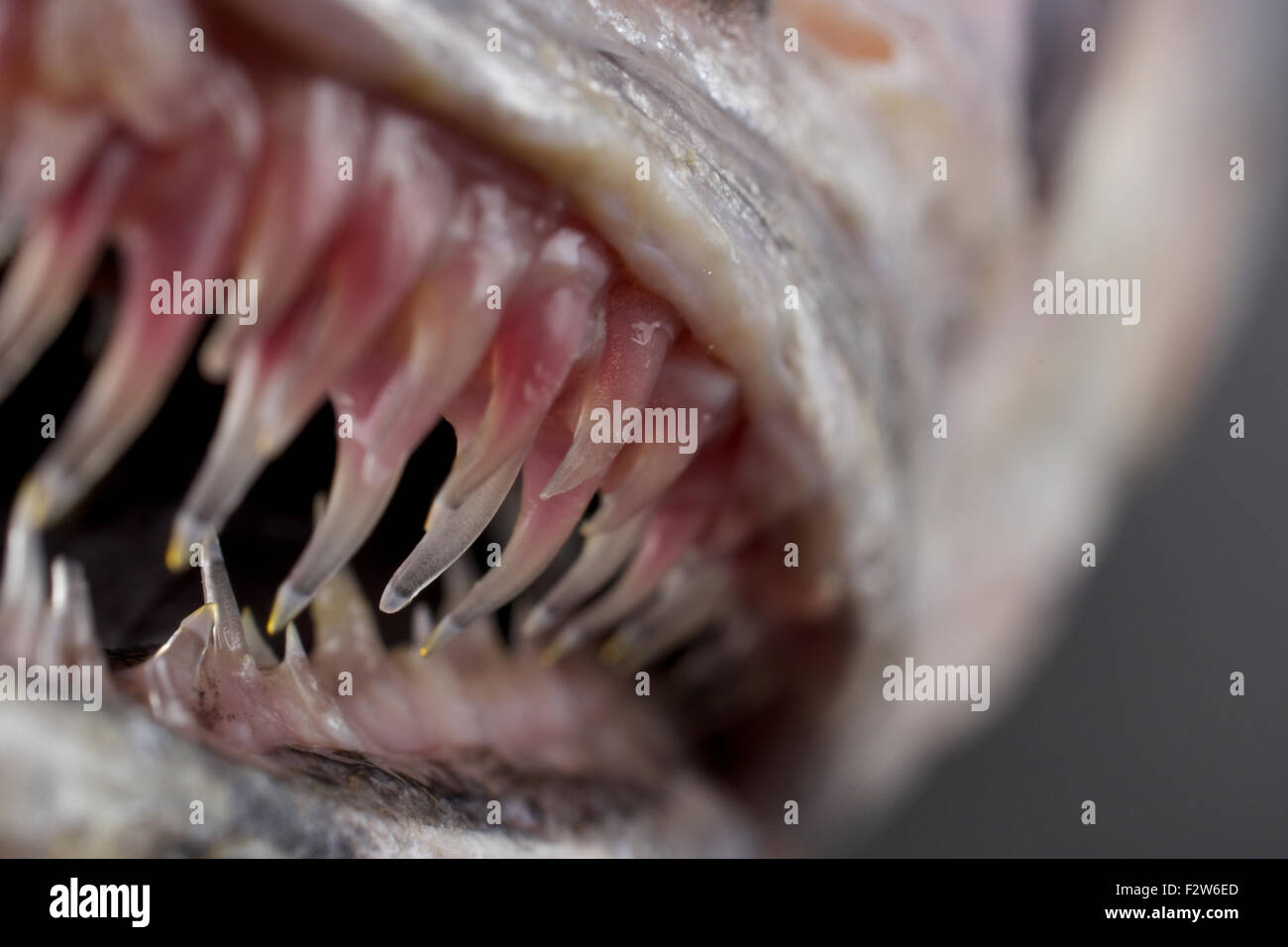 Scary Fish Stock Photos Scary Fish Stock Images Alamy
