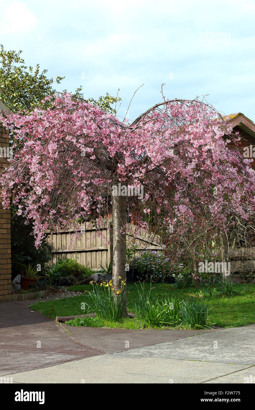 Pink weeping Cherry tree in full bloom Stock Photo