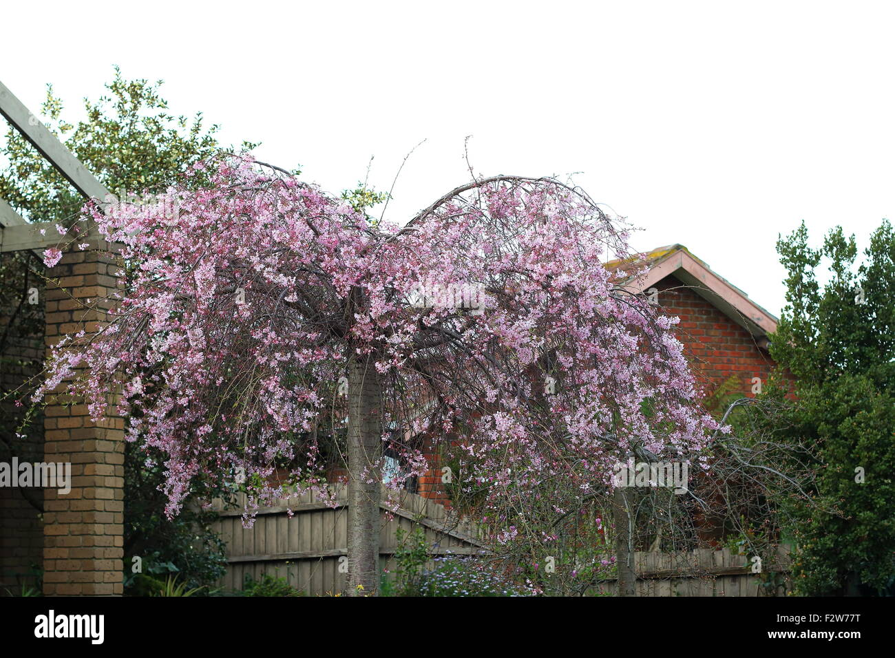 Pink Weeping Cherry Tree In Full Bloom Stock Photo 87835660 Alamy