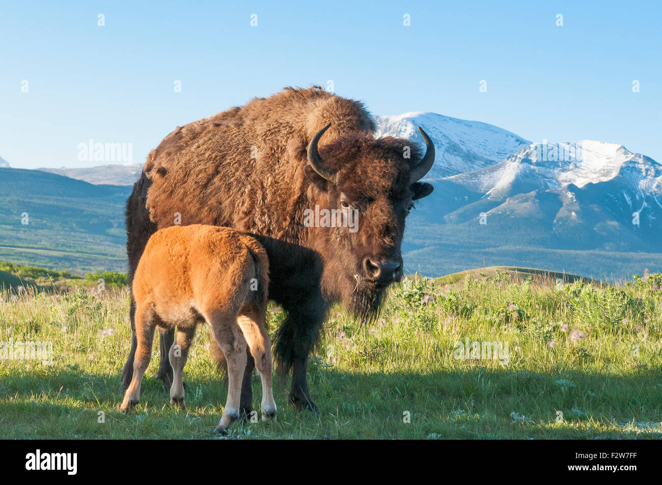 Plains Bison calf suckling from mother, Waterton Lakes National Park, Alberta - Stock Image