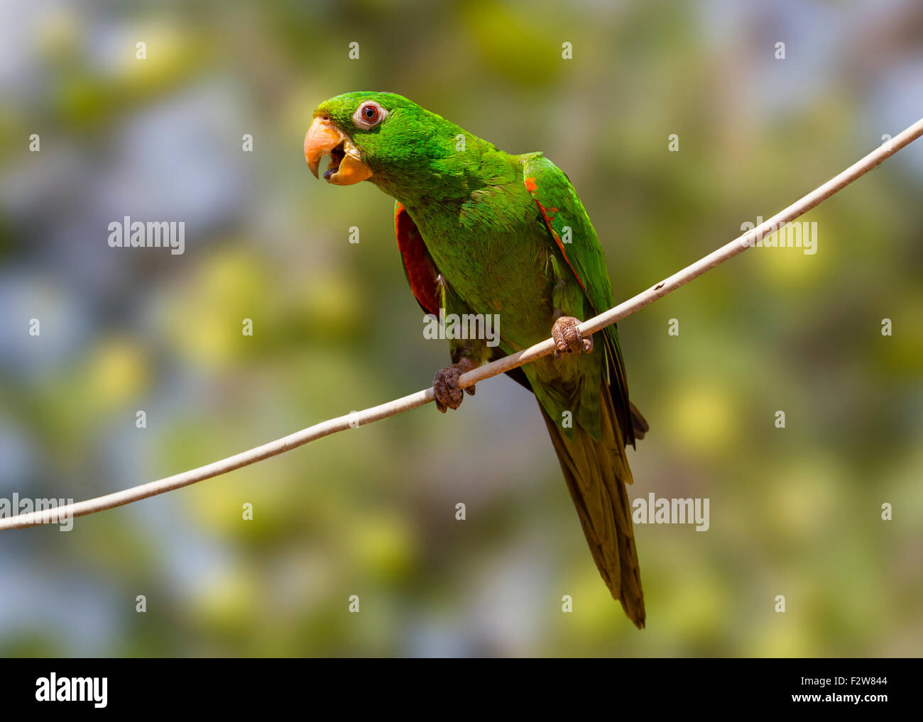 Pionus is a genus of medium-sized parrots native to Mexico, and Central and South America. - Stock Image