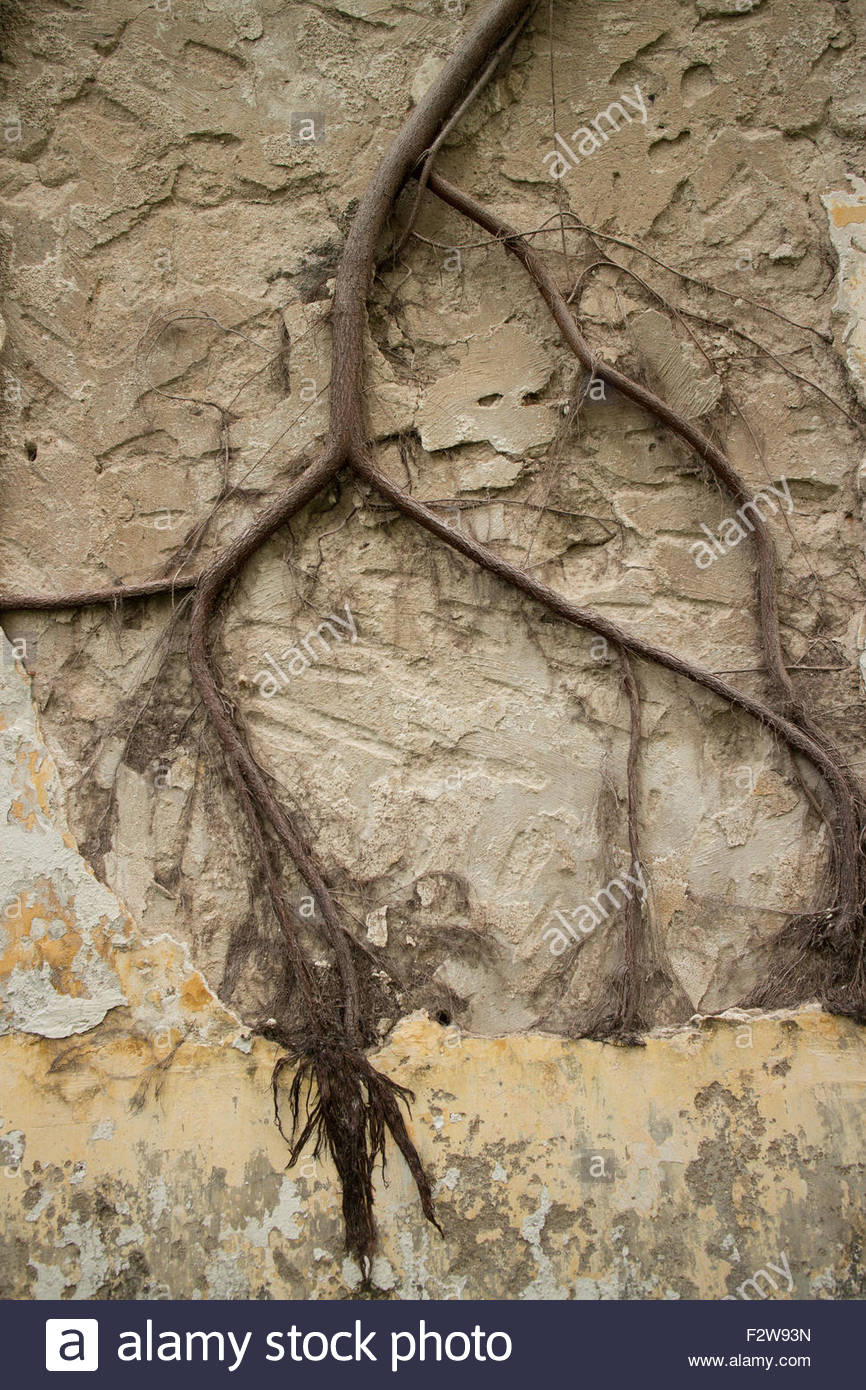 View of Colonial stucco wall with large creeper vine spanning the middle. Noticeable chip marks visible on bare - Stock Image